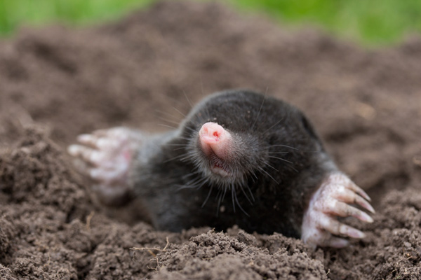A mole popping out of the hole he has dug.